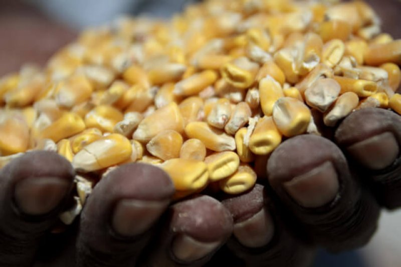 Nigeria's maize import ban could boost adoption of GM varieties