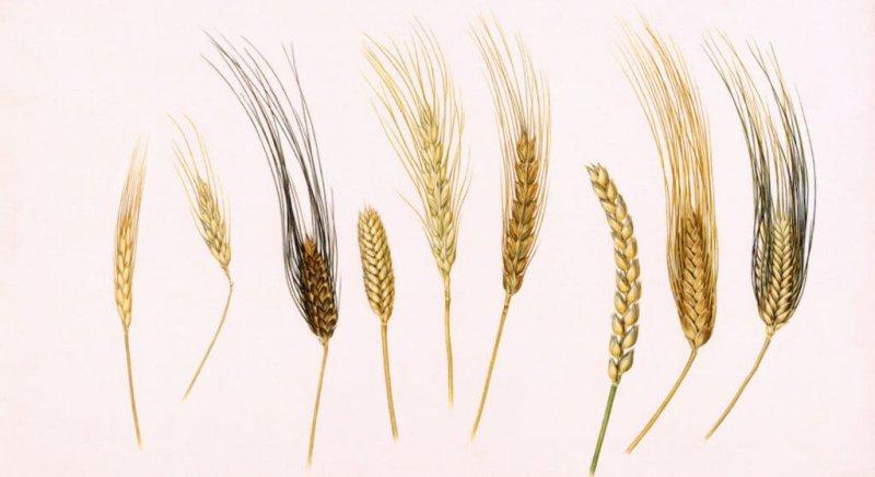Ancient wheat varieties. Credit: William H. Bond
