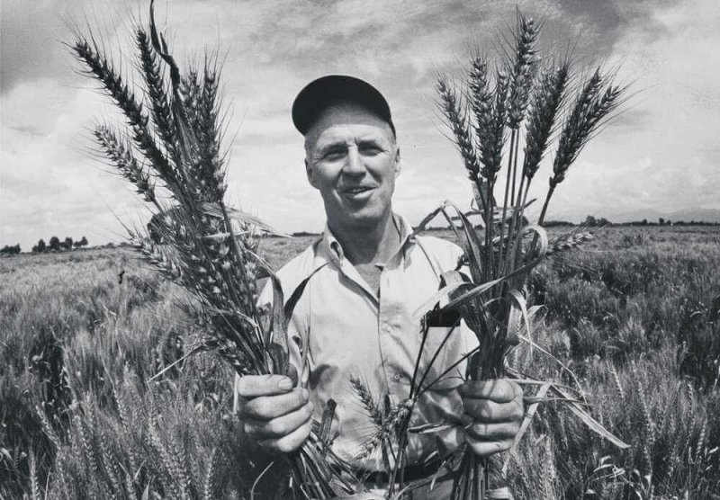 Norman Borlaug, 1970, in a Mexican wheat field, holding the wheat variety that he developed by crossing a native Mexican strain with a Japanese dwarf variety. Credit: Arthur Rickerby/National Portrait Gallery/Smithsonian