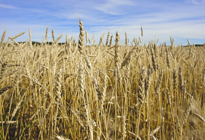 canadian wheat