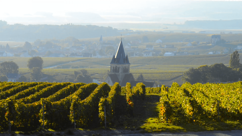 champagne vineyards in the montagne de reims area of the marne