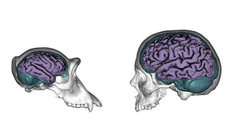 chimpanzee human brains