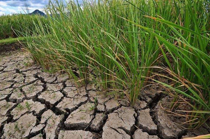 climate change ready drought tolerant