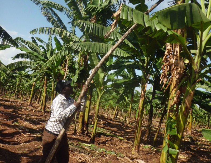 A researcher at Uganda's Agriculture Research Institute shows a GMO banana  fortified Vitamin A. Credit: Lominda Afedraru