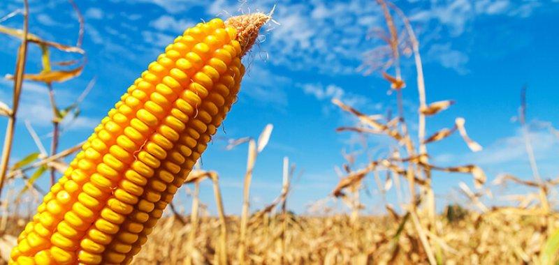 corn crop yellow