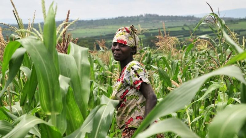 corn in kenya