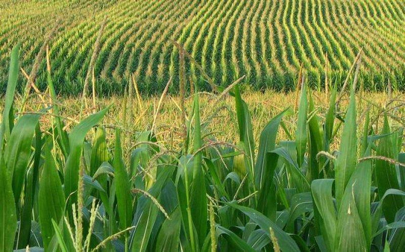 corn field x q crop scale