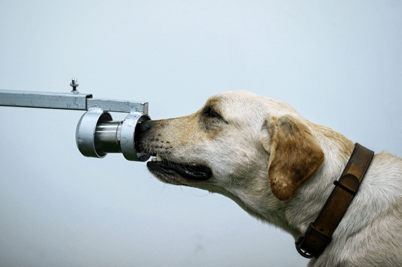 A dog receives training to identify COVID-19 by smell. Credit: Aviation Pros