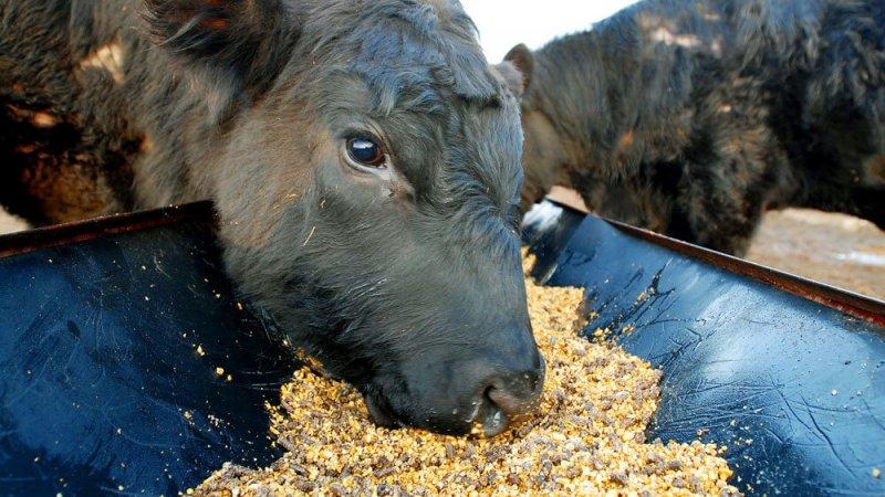 cowscorn wide dcb a e d d eccee d effc