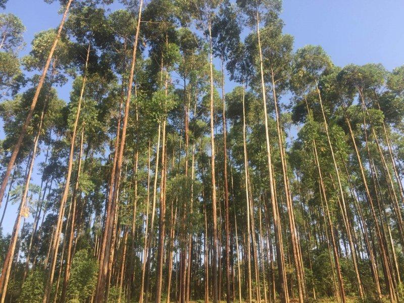 Eucalyptus farming in Kenya. Credit: PulseLive