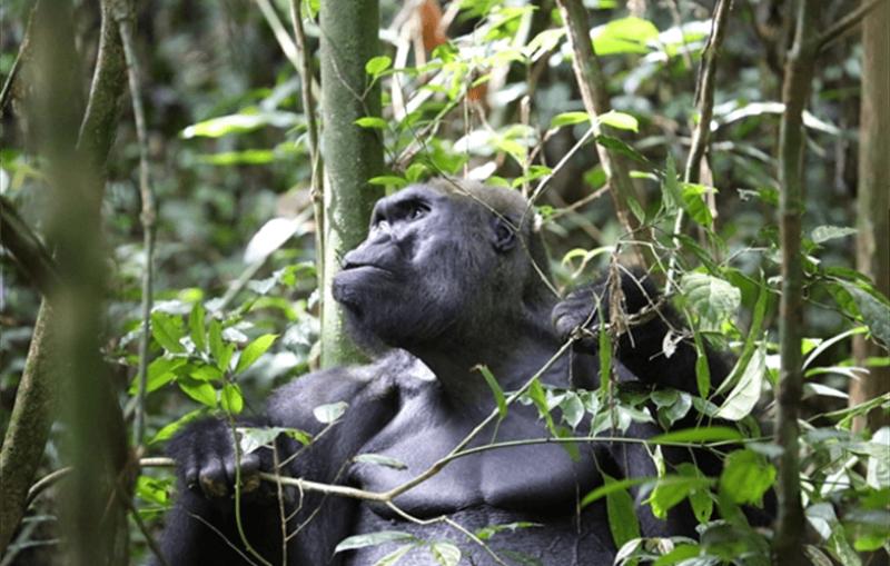 Kingo, a wild silverback gorilla. Credit: Wildlife Conservation Society