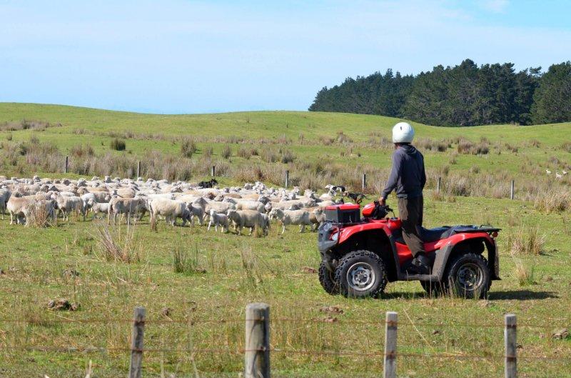 Shepherd in Karikari, New Zealand. Credit: Rafael Ben-Ari/Fotolia