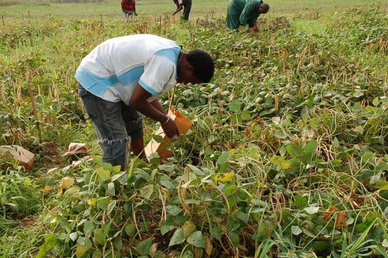 Man harvesting Bt cowpea. Credit: IITA/Flickr