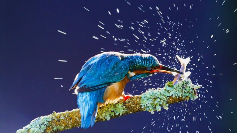 Common Kingfisher (Alcedo atthis) adult, feeding. Credit: Kevin Elsby/FLPA/Minden Pictures