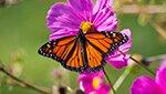 faq monarchs