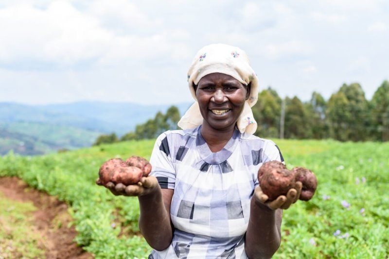 Farmer Bone-Konsira Tumwesigye holds some potatoes in her hands. To get a good harvest, she must spray her field with fungicides on a weekly basis, a labor intensive, time consuming and expensive undertaking. Credit: CIP