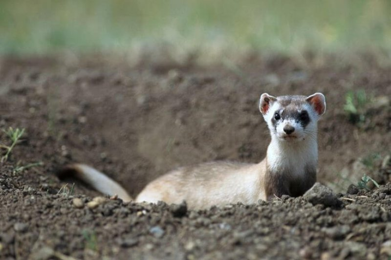 A black-footed ferret. There are likely fewer than 500 animals left in the wild. Credit: Sumio Harada/Minden Pictures