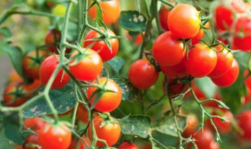 genetic engineering tomato plants x