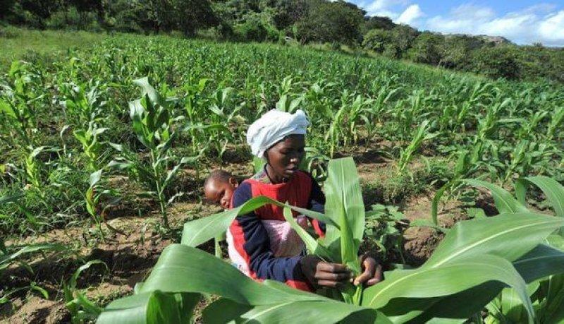 gm maize zimbabwe