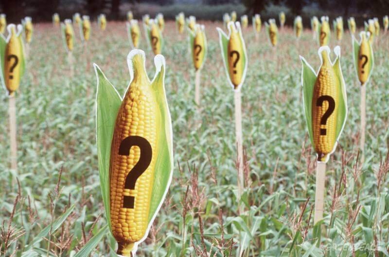 greenpeace marks a maize field