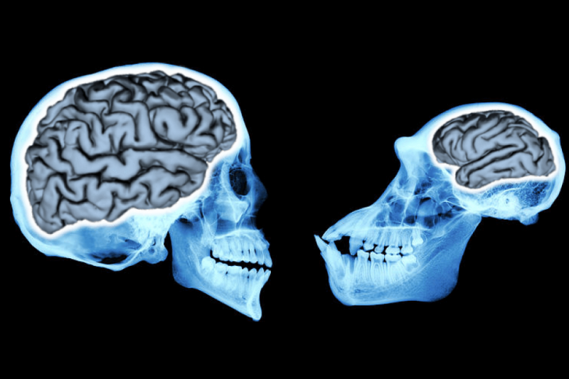 Human and chimpanzee brains. Credit: University of Chicago
