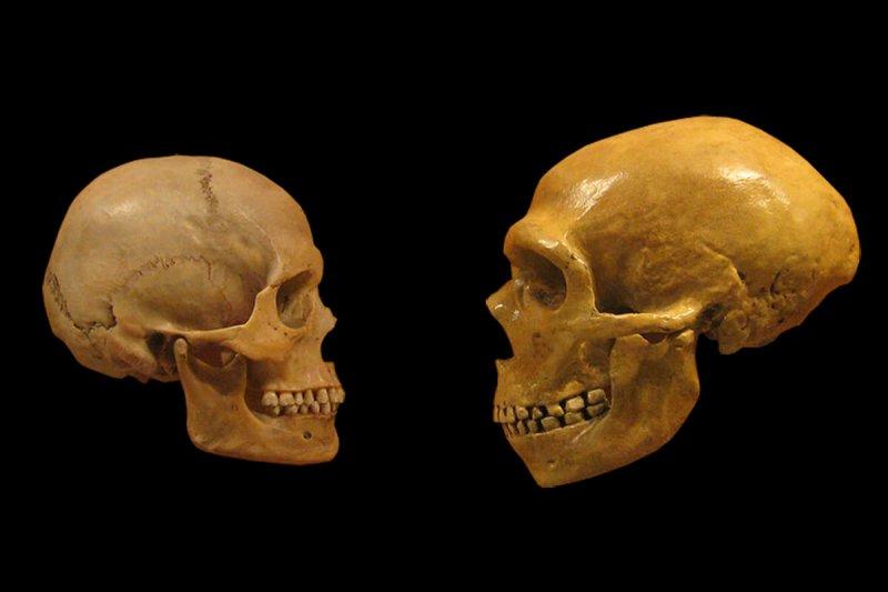 Human and Neanderthal skulls. Credit: The Verge