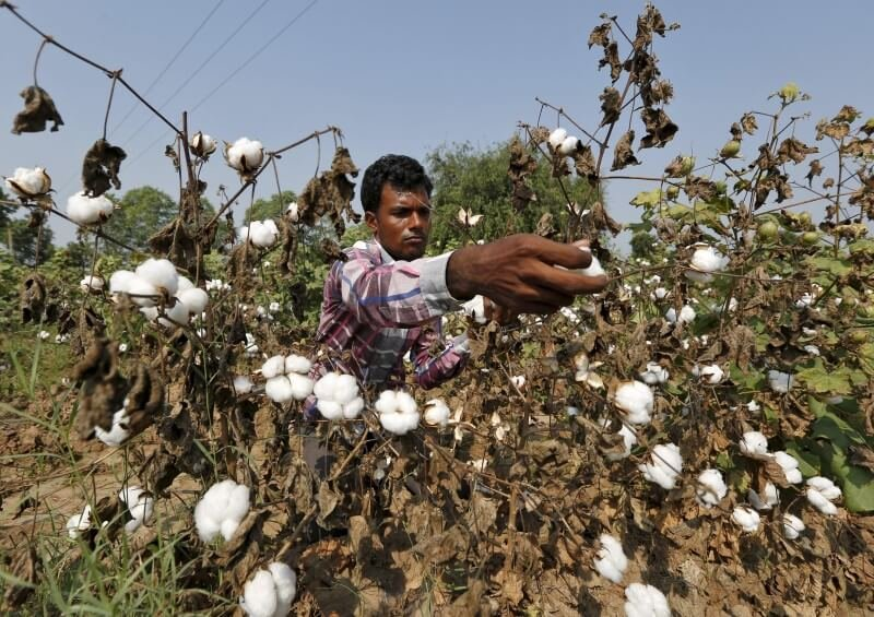 india not scared if monsanto leaves as gm cotton row escalates