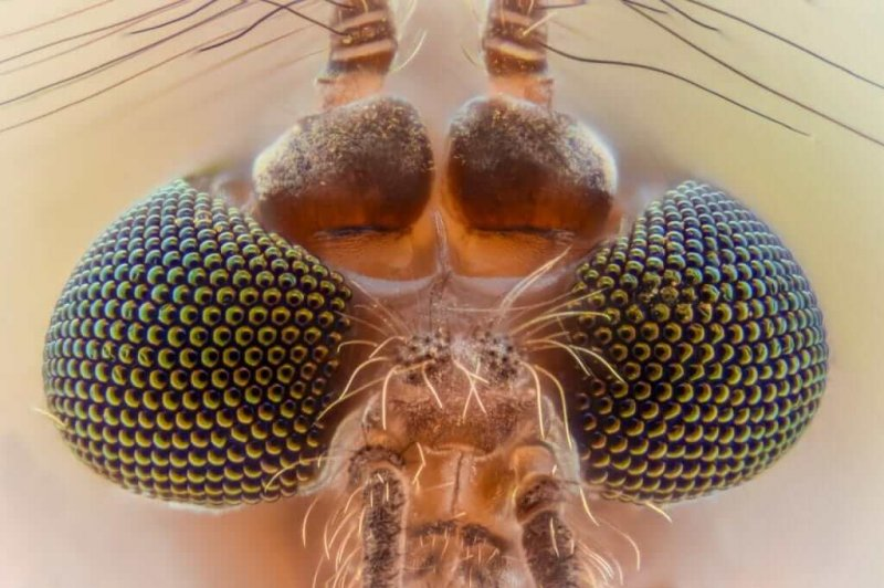 Compound eyes of a mosquito. Credit: Color Meanings