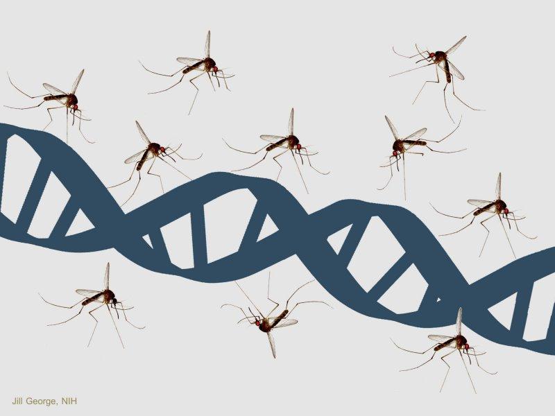 mosquitoanddna