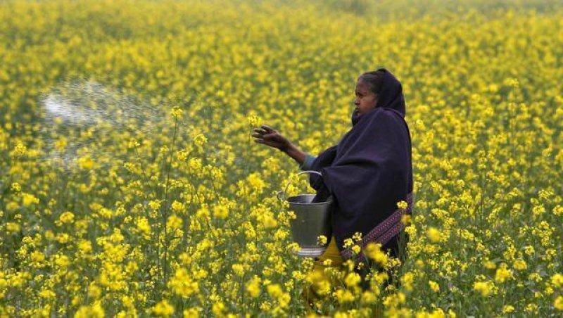 northern photo field mustard farmer casting allahabad a ea f e ac f e d bee