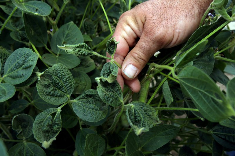 Soybean damage by dicamba drift. Credit: Reuters