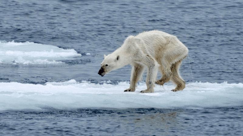 3-9-2019 polar bear agony