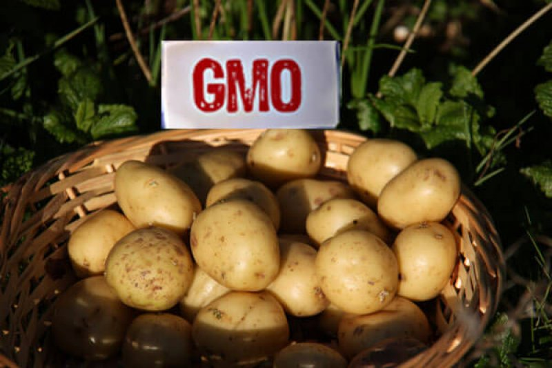 Viewpoint: There's no such thing as a 'GMO,' and the history of potatoes illustrates why the term is 'nonsensical'