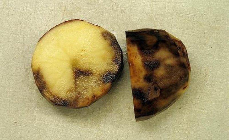 potato late blight