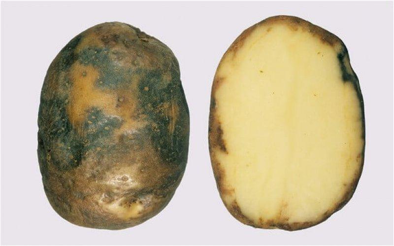 potato b