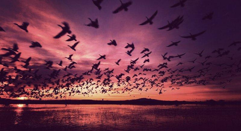 purple sky geese
