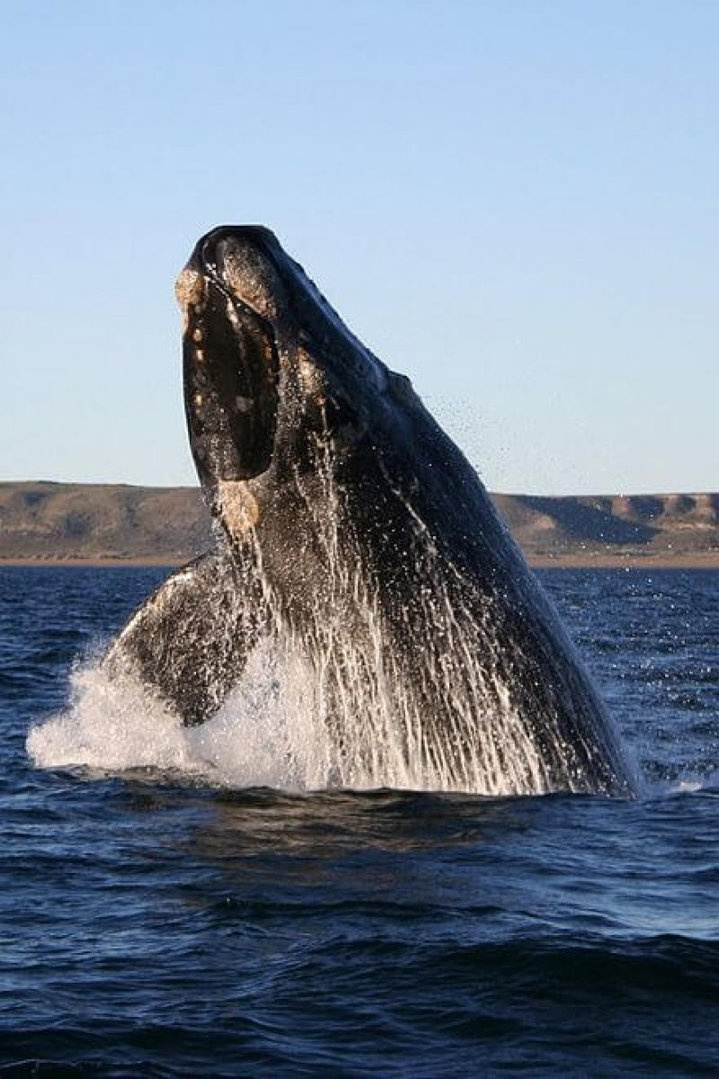 px southern right whale