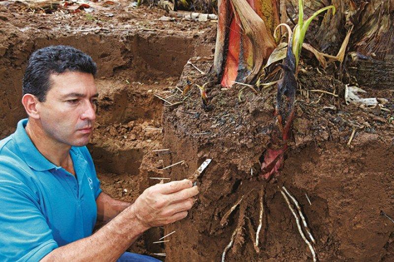 rodolfo solis banana plant roots