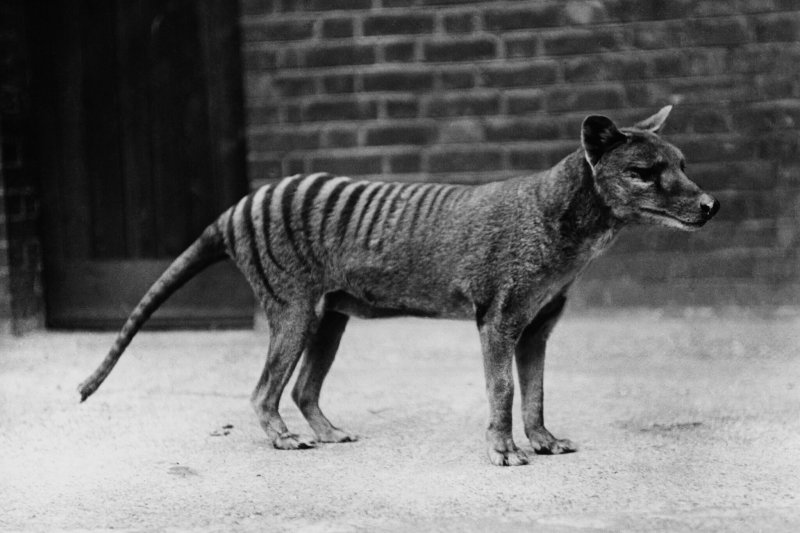 A thylacine, also known as a Tasmanian tiger, in captivity in the early 20th century. Credit: Popperfoto/Getty Images