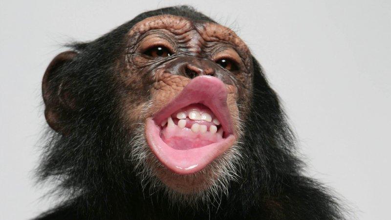 skynews chimpanzee lips