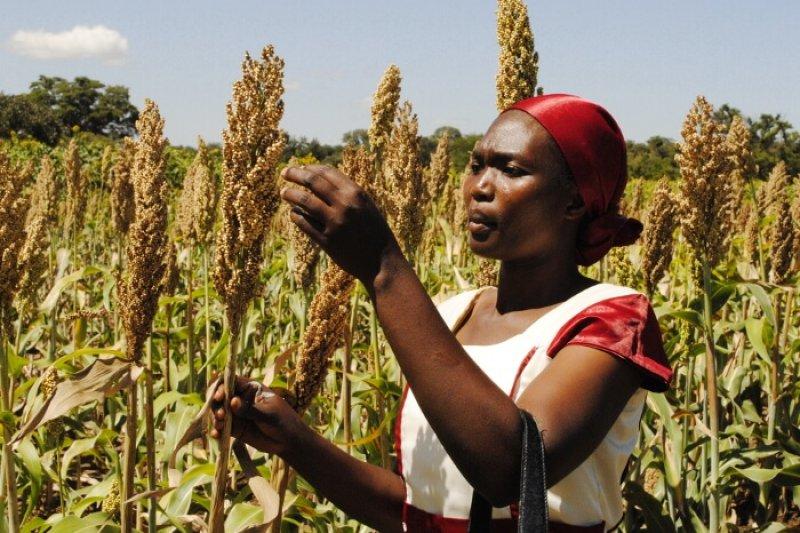 sorghum farmers in kenya FARMERS TREND