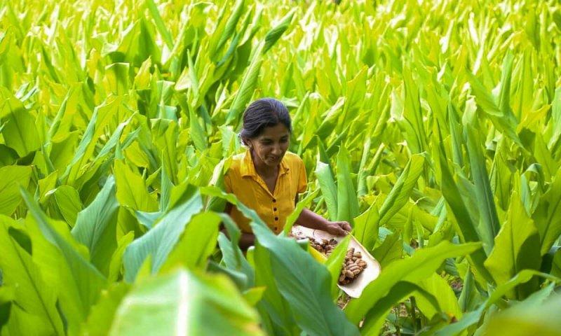 Gonagala Turmeric farmer Dayarathne Bandara. Credit: SAPP