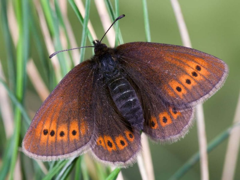The Mountain Ringlet Butterfly. Credit: Andrew Darrington/Alamy