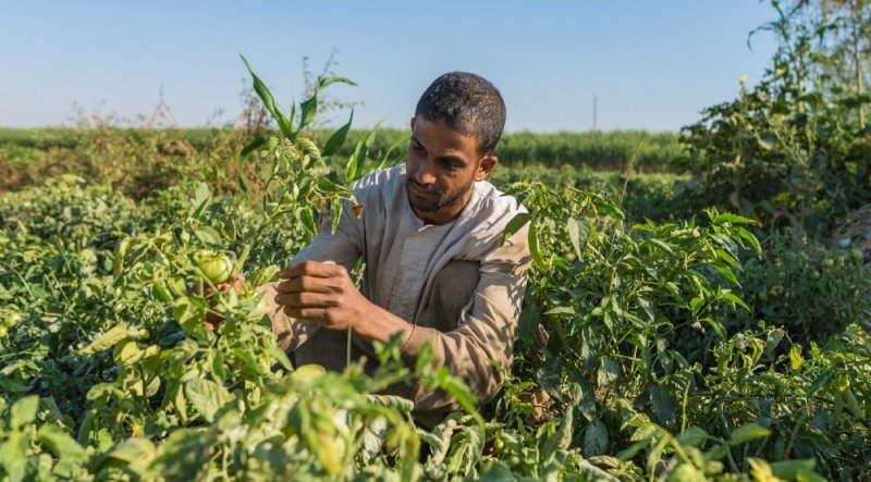 An Egyptian farmer inspects his tomato crop. Image credit: Mohamed Abdel Wahab for USAID