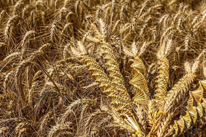 wheat weaving twisted grain like