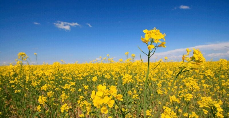 why canola oil is bad for you